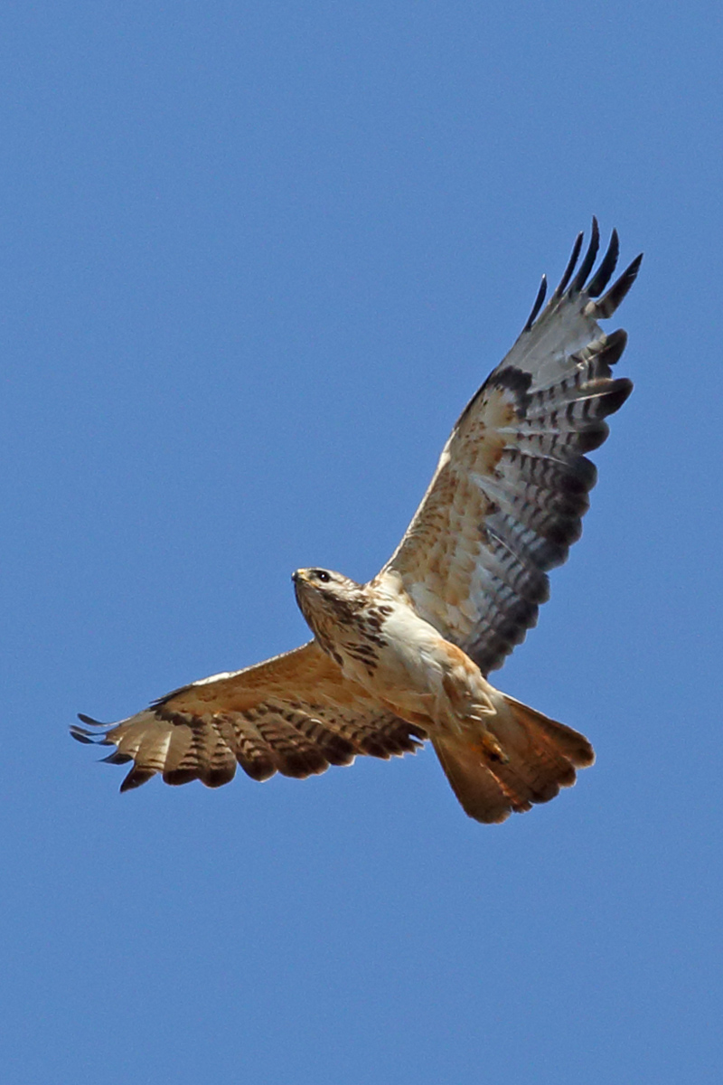 Бёрдинг-ралли, канюк - лучший снимок птицы, фото Михаила Подсохина