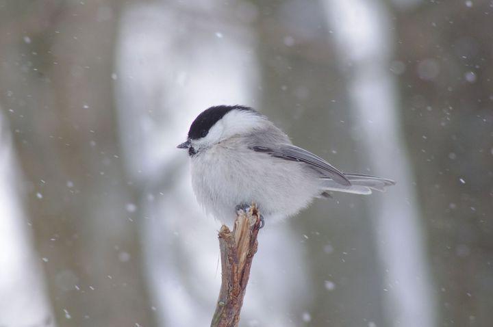Лучший снимок птицы - «Пухляк». Автор - Владимир Мельников, команда «Пента-белки»